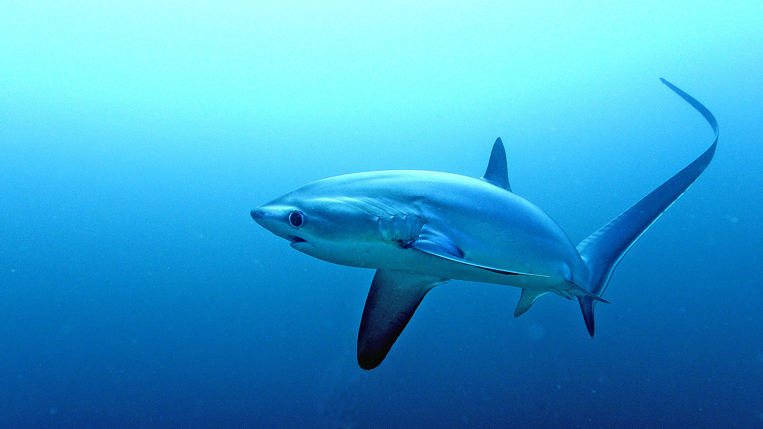 Thresher Shark of Malapascua